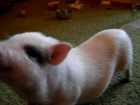 Miniature Potbelly Pigs 4 Sale Can Ship!!