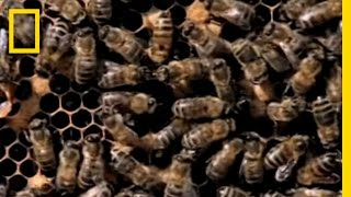 Download Killer Bees! | National Geographic Video