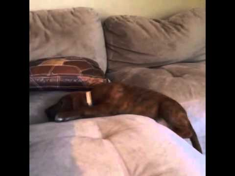 Puppy climbs a couch just for a nap
