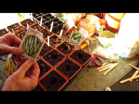 For New Gardeners: How to Seed Start Zucchini and Squash Indoors: Big Plants! - MFG 2014