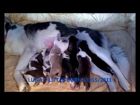akc registered puppies (luna's litter)