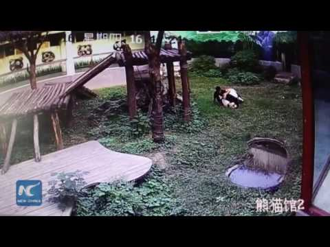 "Man jumps into panda den, gets attacked by giant panda 游客闯进熊猫馆 打扰午睡熊猫展开""人熊大战"""