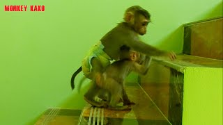 Orphan Monkey, Tiny Nina Want Go To Bedroom At First Floor Sister Luna Help And Sent Her Go Together