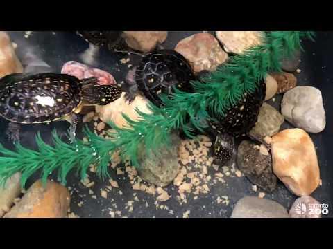 Feeding Toronto Zoo Blanding's Turtles