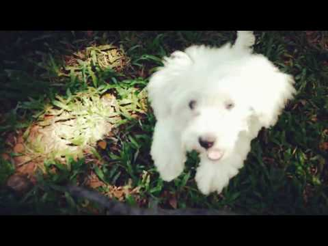 Our Playful Shih Poo Puppy
