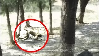 Mysterious Creature Caught On Camera In Chernobyl?