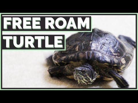 Should you Free Roam your Turtle?