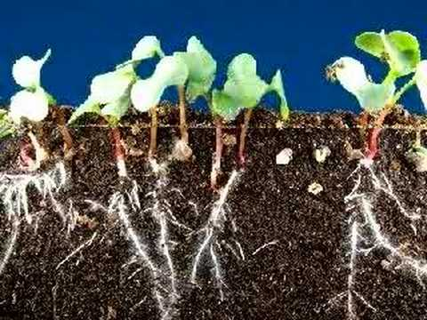 Time lapse radish seeds sprouting, top and roots growing