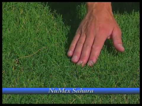 How To Grow Bermudagrass