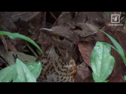 An Idle Female Japanese Thrush Call (in Hong Kong)