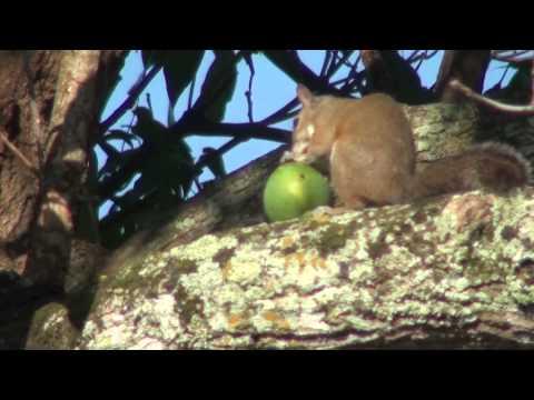 Squirrel eating mango on Tree  Pt 1