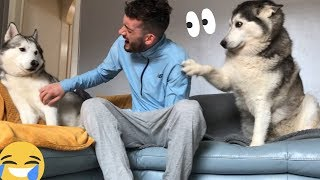 Jealous Husky Gets Angry And Just Wants ALL Of The Attention!! [READ DESCRIPTION]