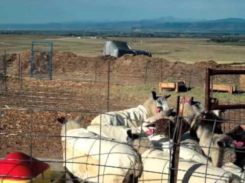 Raising Sheep & Goats For Profit - Full Version