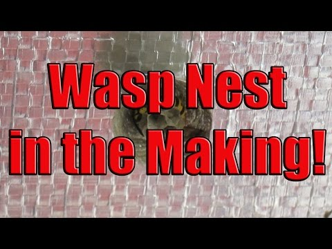 European Wasp Nest Being Built From Scratch – Wasp Nest in House