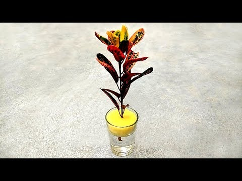 How to grow croton plants in water | Colourful crotons | Grow from cuttings