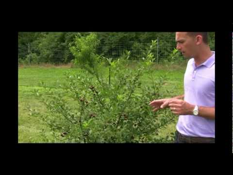 Why Small Carmine Jewel Bush Cherry Trees are So Beneficial - Gurney's Video