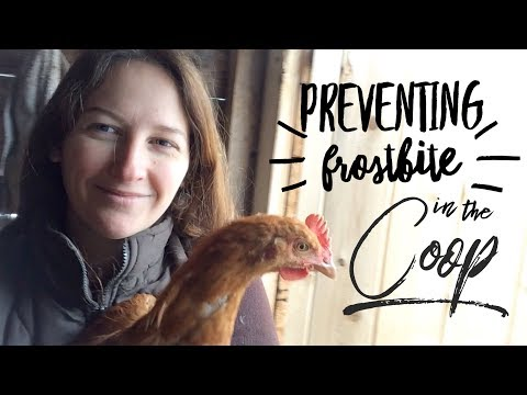 Prevent Frost Bite in the Chicken Coop on How to Homestead with Scarlett