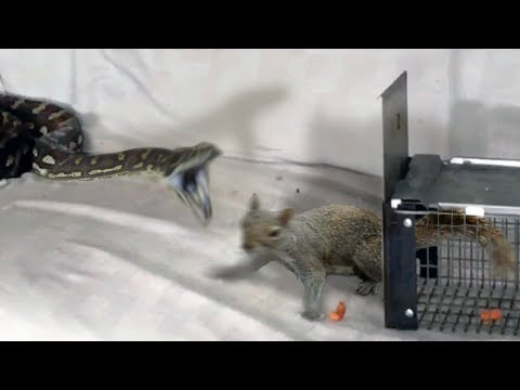 Python and Squirrel on Couch--Attacks Squirrel and Eats It (Time Lapse x6)