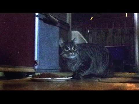 Feral Cat comes inside house for the first time