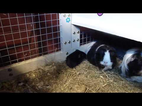 New baby guinea pig - Midnight