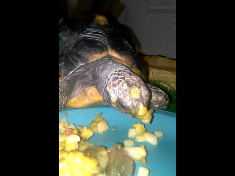 YELLOW FOOTED TORTOISES FEMALE