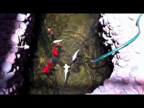 Feeding Goldfish and  baby koi in my pond