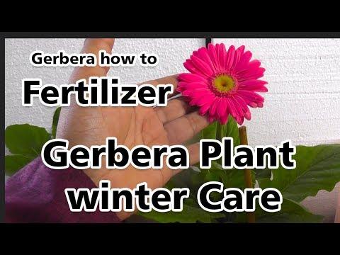 Gerbera Plant winter Care|Gerbera Daisy|Gerbera how to Fertilizer|Flowering Plants(Hindi)
