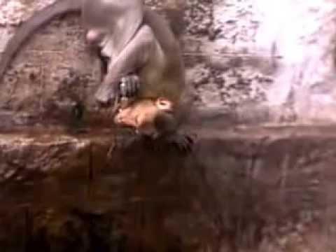 Monkey drinks Water like Human
