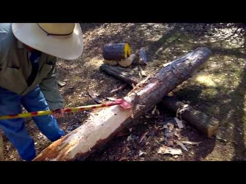 Debarking A Pine Tree Brought Down By A Tornado