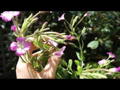Lovely, Flowering Willow Herb.  Epilobium Hirsutum, Identification.