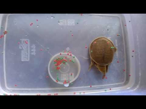 Tortoise food habits