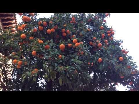 Orange Trees with fully grown oranges at Poble Espanyol, Spanish Village, Montjuic, Barcelona