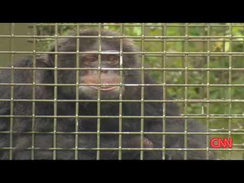Michael Jacksons Monkey:  Bubbles lives retiree life without MJ