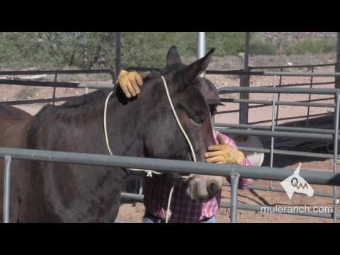 Halter Training a Mule