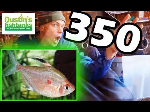 TECHNO TETRA TUESDAY: What Tetras Should Go in the 350 Gallon Aquarium- All Tetra Fish?