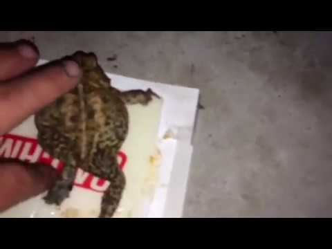 How to get rid of cane toads cheaply