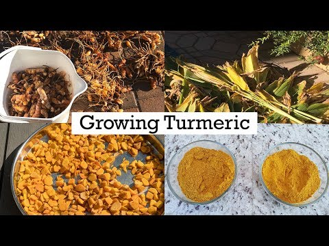 Turmeric - Growing, Planting & Care - A Complete Guide On How To Grow Turmeric In Your Garden