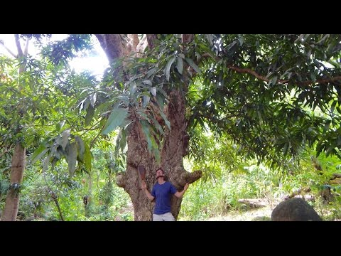 Did you know mango trees got this big???