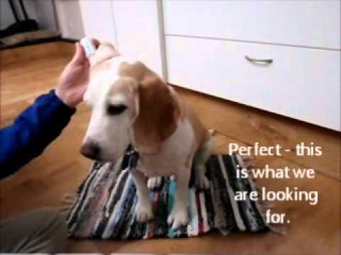 Training your dog to like ear medication