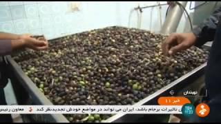 Iran Olive harvest, Nehbandan county برداشت زيتون شهرستان نهبندان ايران