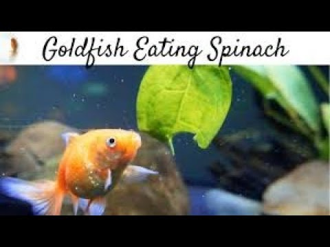 Feeding Spinach to my Goldfish. Added 2 Ranchu and 2 Ryukins into my tank!!