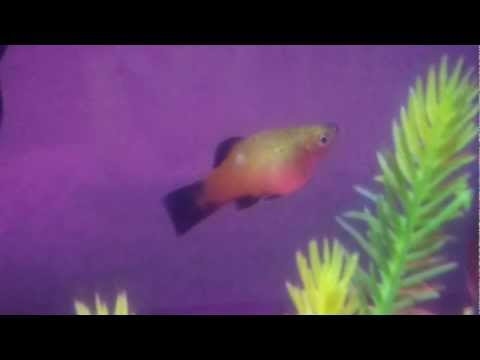 Is my sunset platy pregnant or just fat???