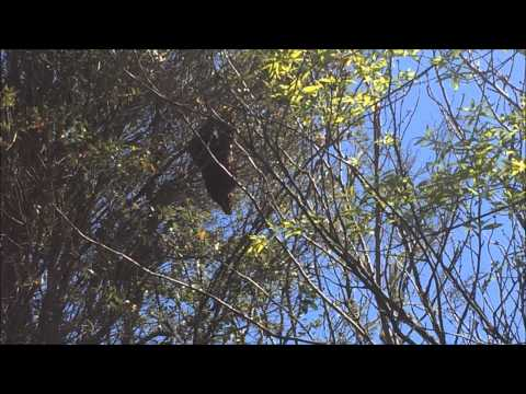 catching a swarm high in a tree
