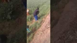 बड़ा गाँव की लडकी खेतो मे गेंहू काट रही थी इस विडियो को जरूर देखे है