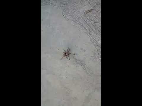 Cyprus Wildlife - European Tarantula in My Yard (Part 1)