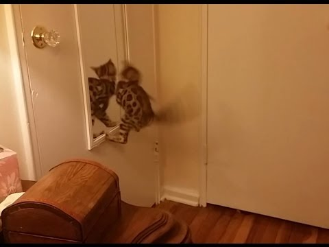 Baby Bengal Kitten, Isis Jumps Into Mirror - Hilarious!