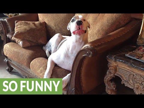 Owner uses sign language to get deaf Great Dane off furniture