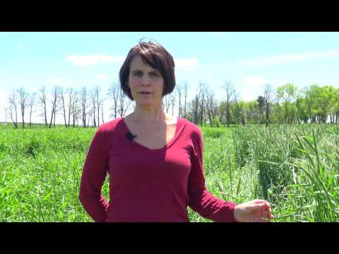 Rye cover crop variety selection for organic no-till soybeans in Wisconsin