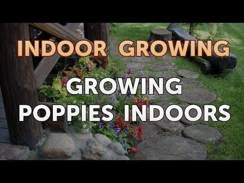 Growing Poppies Indoors