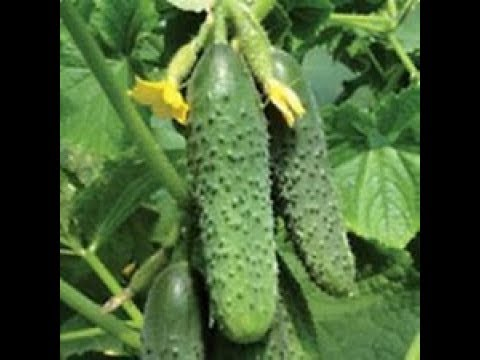 Increase pickling cucumber production significantly